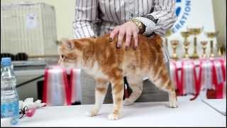 видео Бобтейл кошка: бесхвостая порода — характеристика и описание