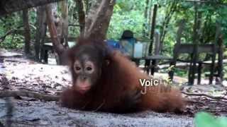 Jumbo le petite orang-outan