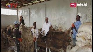 Download Video Kulit Keledai Kaya Manfaat, Populasi Hewan Mirip Kuda Ini Semakin Turun - BIP 16/06 MP3 3GP MP4