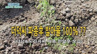 더덕씨앗 발아율 100% ?? 더덕 도라지 파종 노하우