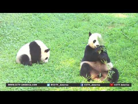Panda cub Bei Bei turns one in DC's National Zoo