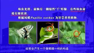 第13讲 鳞翅目昆虫分类(二)