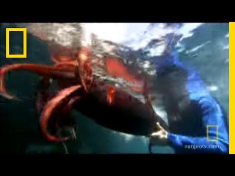 squid-vs.-squid-|-dangerous-encounters:-cannibal-squid