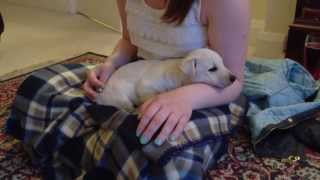 Mollie The Westie Cross Scottie Puppy Has A Sleep