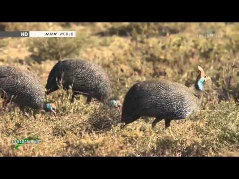 Những loài chim lười bay - thiên nhiên hoang dã HD Thuyết minh