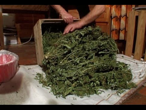 HEMP IN SWITZERLAND, CHANVRE EN SUISSE VERSION ANGLAISE