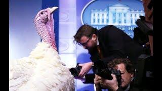 The surprising history behind the Thanksgiving turkey pardon