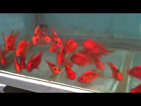 red parrot cichlid fish from thailand export youtube