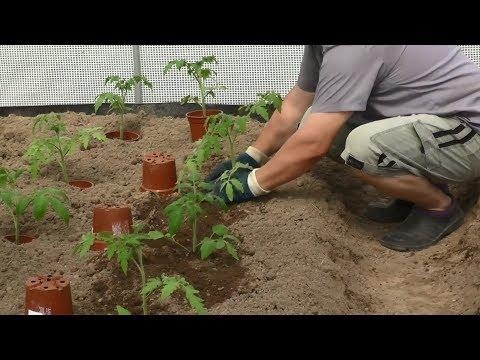 Быстрый способ высадки рассады томатов