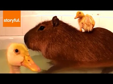 Ducklings Love Bath Time With Capybara (Storyful, Wild Animal)