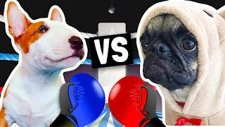 PUPPY BOXING MATCH!