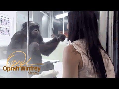 Kanzi the Ape Who Has Conversations with Humans | The Oprah Winfrey Show | Oprah Winfrey Network