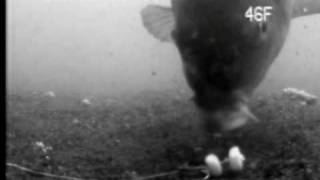 Underwater video related to carp fishing. I was playing around with a rig made of a stiff hook link (Snakebite 25lb) and a hair positioned along the hook shank ...