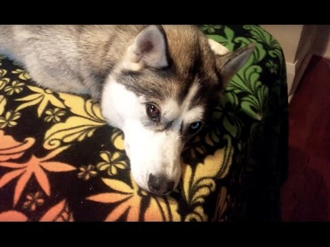 Husky wants to play with Cat