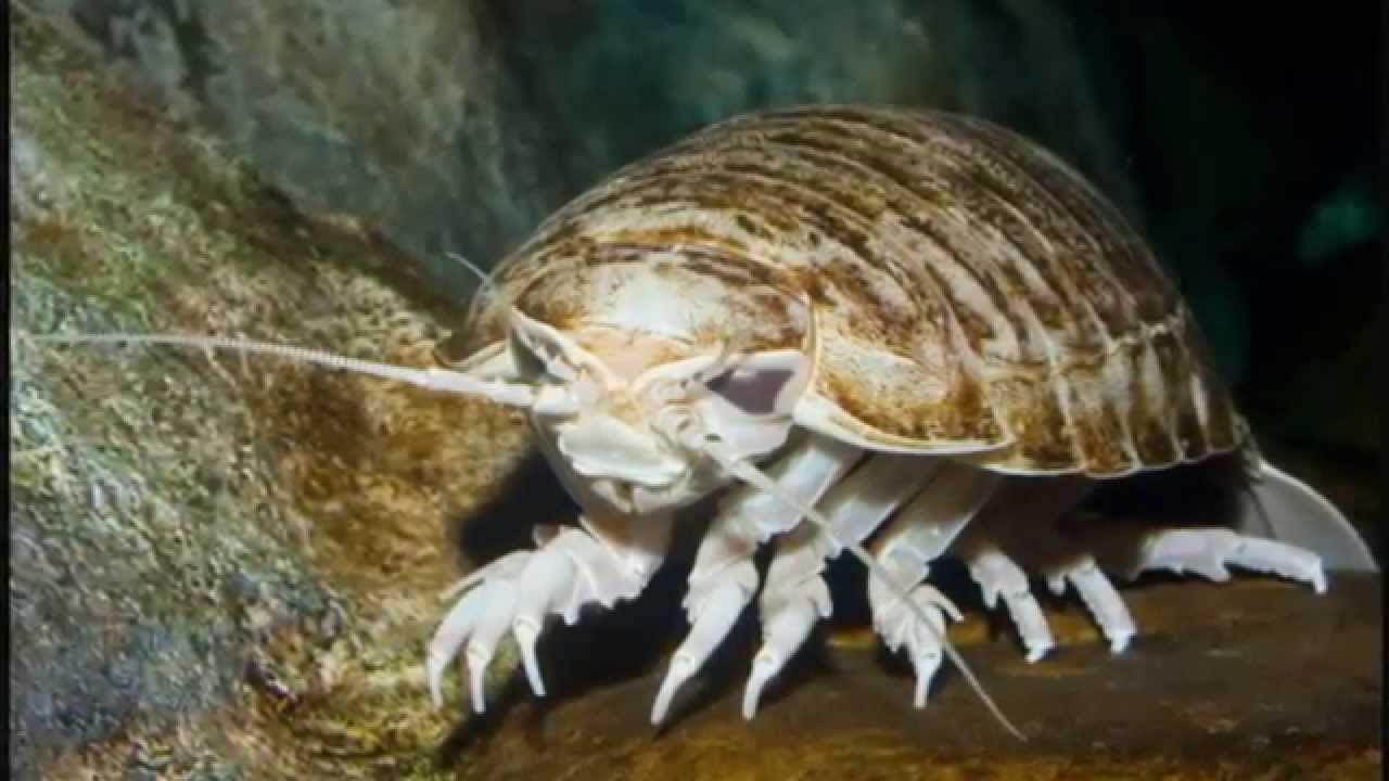 Deep Sea Monster Giant Isopod Youtube