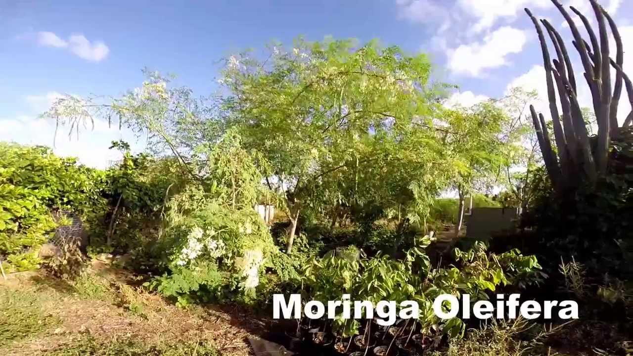 moringa boom