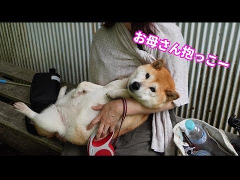 柴犬小春 ハイキングで疲れたらお母さんが抱っこしてくれます 兵庫県養父市『天滝』