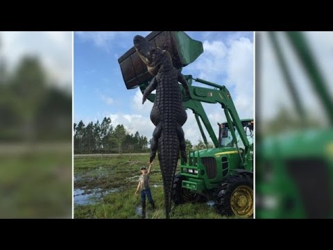 Massive 15-Foot, Cattle-Eating Alligator Killed In Florida - Newsy