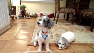 Oliver, A Miniature, Rescued By Florida Poodle Rescue