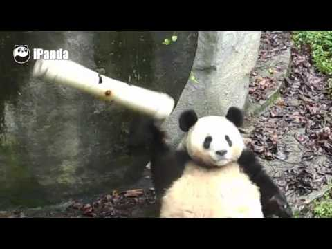 Giant panda finds out new toy by himself