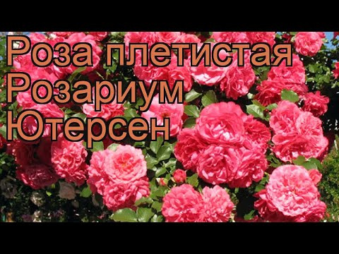 Роза плетистая Розариум Ютерсен 🌿 обзор: как сажать, саженцы розы Розариум Ютерсен
