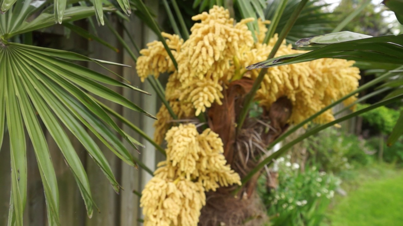 Trachycarpus Blooming Youtube
