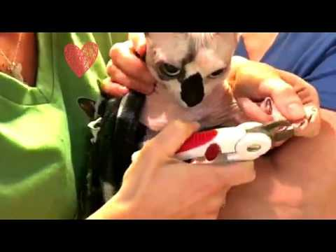 Bambino Sphynx Cat Nail Clipping Instructions
