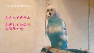 おしゃべりセキセイインコ「ブランコでおしゃべり編」 日本語をしゃべる...