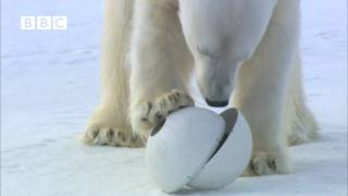 Very funny  Polar Bear wrecks Spy Cameras!  Polar Bear Spy on the Ice (David Tennant)