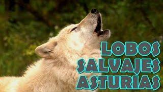 Lobos salvajes Asturias