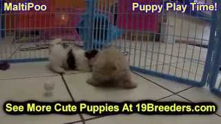 Maltipoo, Puppies, For, Sale, In, Jacksonville,florida, Fl,tallahassee,gainesville,