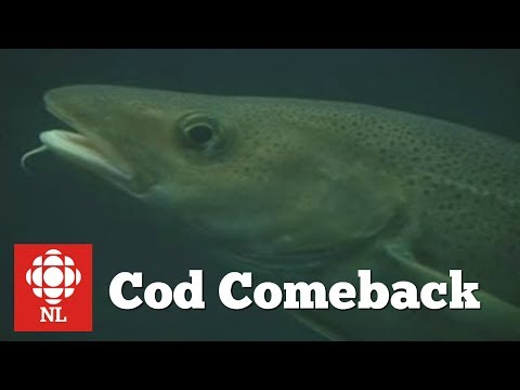 Cod Comeback In Newfoundland?