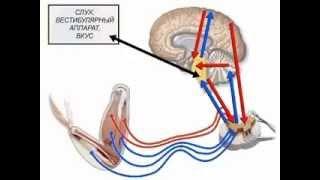 Анатомия центральной нервной системы:  строение и функции