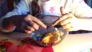 Уход, содержание рыбки петушка