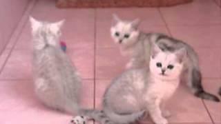 Питомник Шанталь (А-котята).wmv