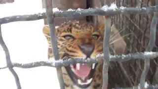 Леопард рычит! Прикол!!!