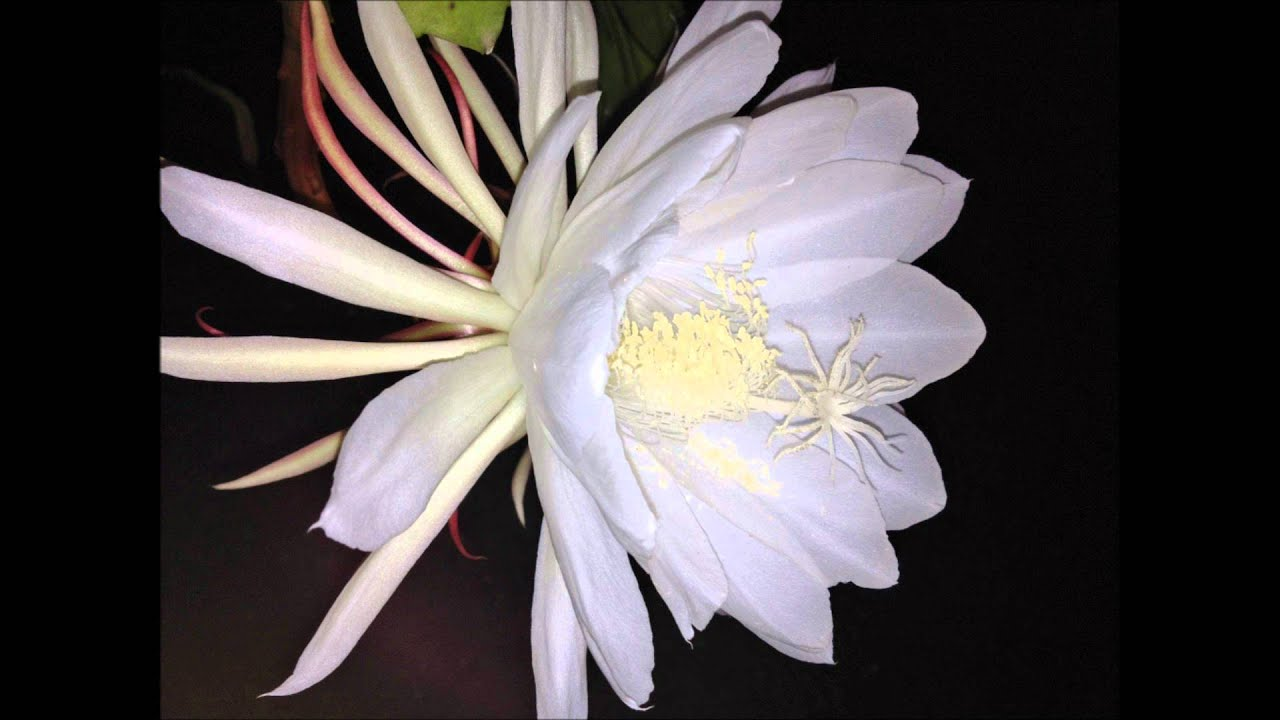 Night Blooming Cereus Epiphyllum Oxypetalum Orchid