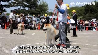 国の天然記念物に指定されている秋田犬の容姿の美しさを競う秋田犬保存...