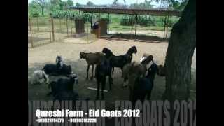 Eid Goats 2012 - Qureshi Farm, Rajasthan India