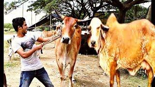 Eid Special। গরুর দালাল। Bangla New Funny Video  2018