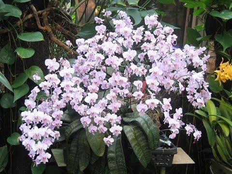 Полив орхидей во время цветения – 4 метода и их
