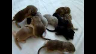 домашние белки песчанки (малыши 12 штук) Gerbils