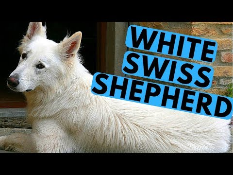 White Swiss Shepherd Dog Breed - Facts and Info
