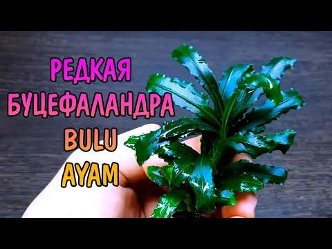 РЕДКАЯ БУЦЕФАЛАНДРА BULU AYAM