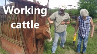 How to work cattle; vaccinating cattle