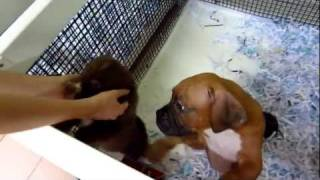 Playing With Cute Puppies At A Puppy Store - Boxer, Shar Pei & ???