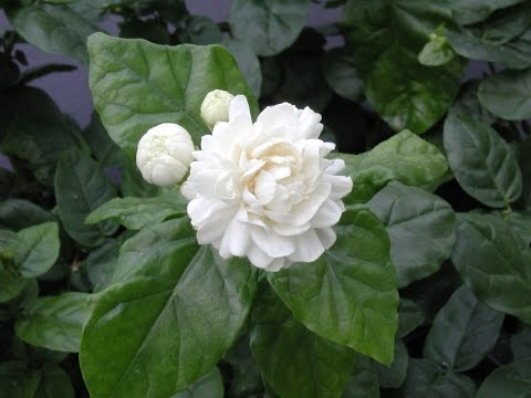 Growing Jasmine (Jasminum