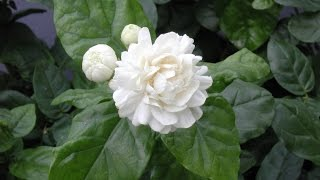 Growing Jasmine (Jasminum sambac) - How to Grow Jasmine