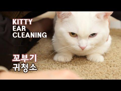 꼬부기 귀청소 - 1살+4개월 오드아이 먼치킨 고양이 Munchkin Cat Gato マンチカンねこ 短足猫