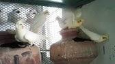4 Cocktail Parrots 03459442750 Zain Ali Farming in Pakistan